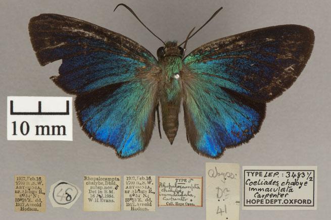 Family: Hesperiidae | Genus: Coeliades | Species: Chalybe | Subspecies: immaculata